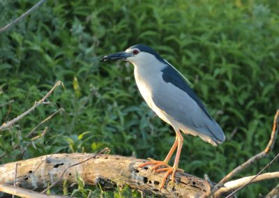 Black-crowned Night Heron, Greece - Mike Symes