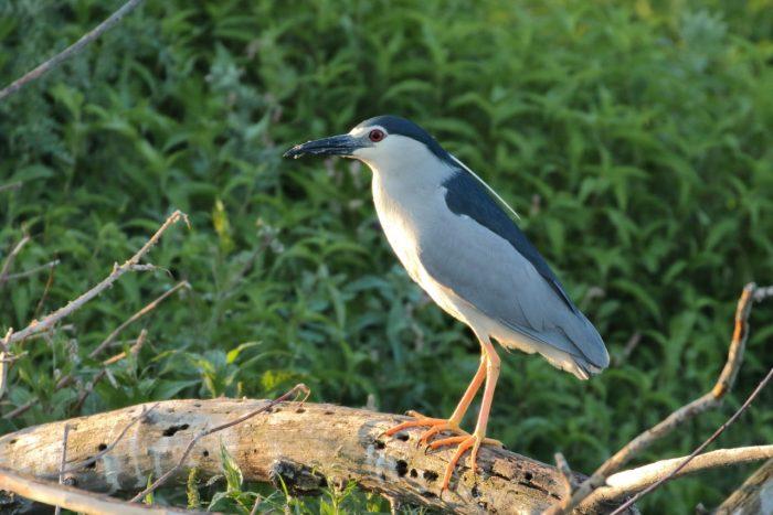 Black-crowned Night Heron, Greece - Mike Symes