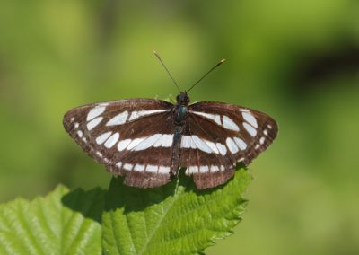 Common Glider, Greee - Mike Symes