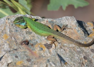 Eastern Green Lizard, Greece - Mike Symes