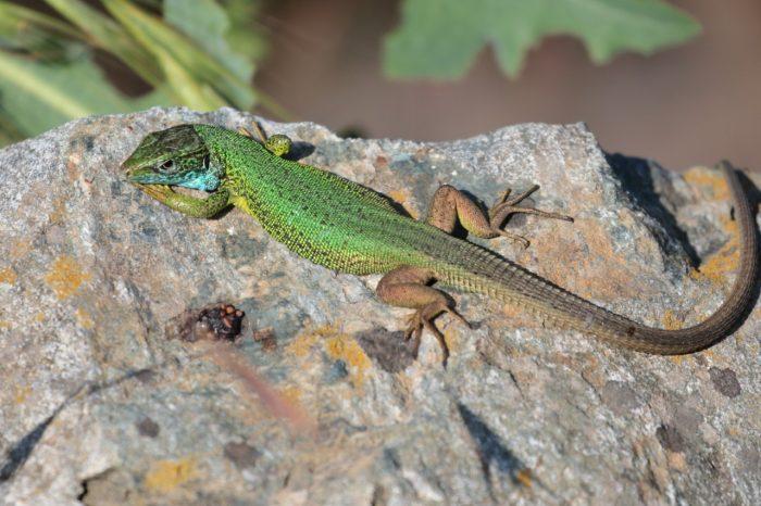 Eastern Green Lizard, Greece - Mike Symes