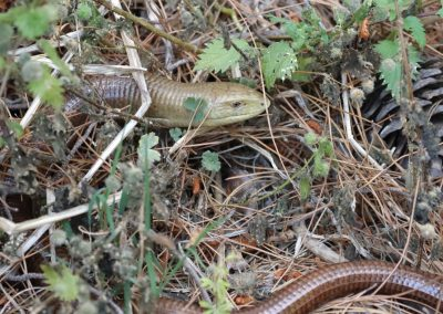 European Glass Lizard, Greece - Mike Symes