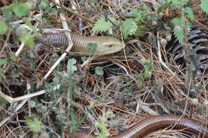 European Glass Lizard, Greece - Mike Symes