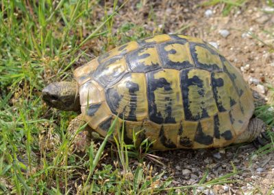 Hermann's Tortoise, Greece - Mike Symes