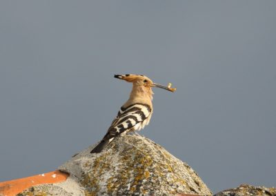 Hoopoe, Greece - Mike Symes