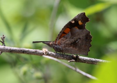 Nettle-tree Butterfly, Kerkini - Mike Symes