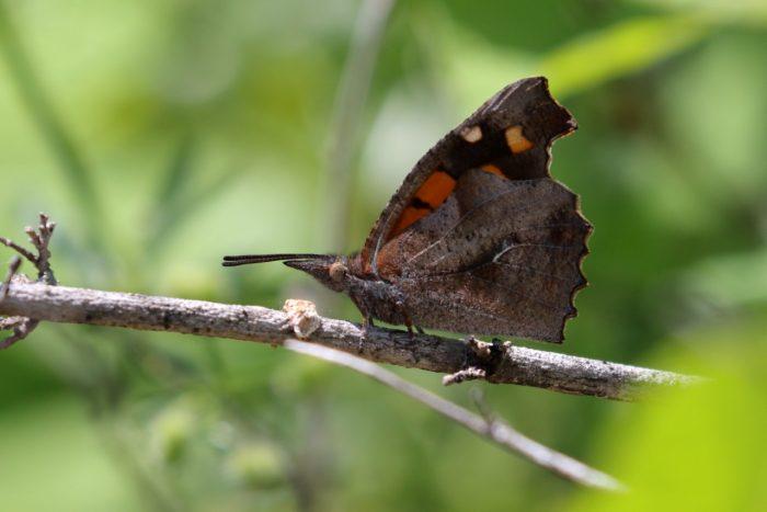 Nettle-tree Butterfly, Kerkini - Mike Symes