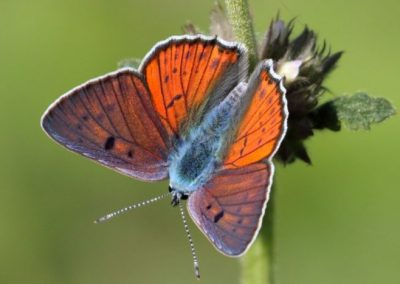 Purple-shot Copper, Macedonia - Mike Symes