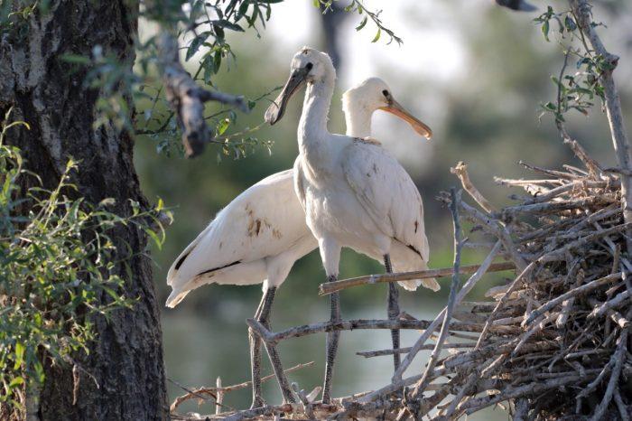 Spoonbill, Lake Kerkini - Mike Symes