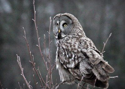 Great Grey Owl, Poland - Marek Borkowski, Wildlife PolandT