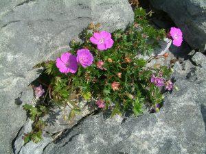 Geranium-sanguineum-The-Burren