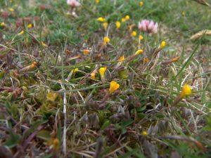 Ornithopus-pinnatus-Isles-of-Scilly