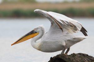 Dalmatian-Pelican-Danube-Delta