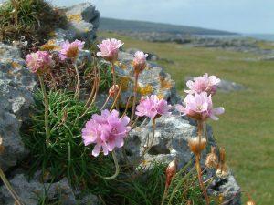 Armeria-maritima-The-Burren