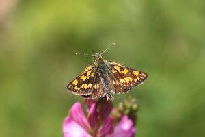 Chequered-Skipper-The-Dolomites