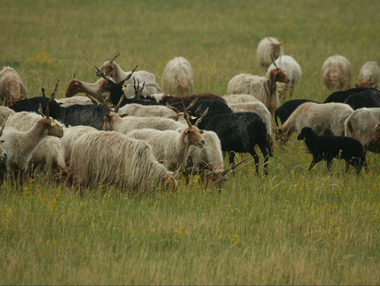 Racka-sheep-Hungary