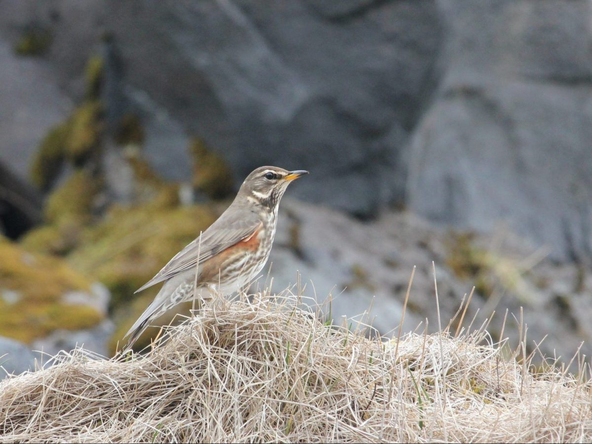 Redwing-Iceland