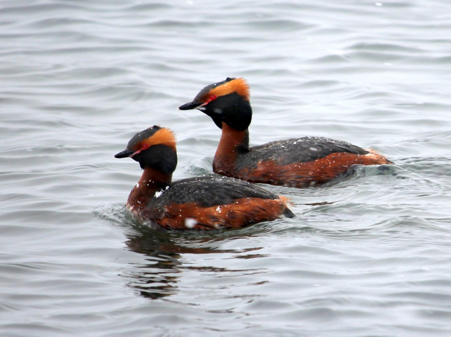 Slavonian-Grebe-Iceland