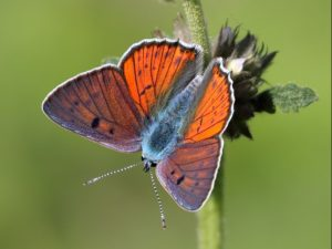 Purple-shot-Copper-Macedonia