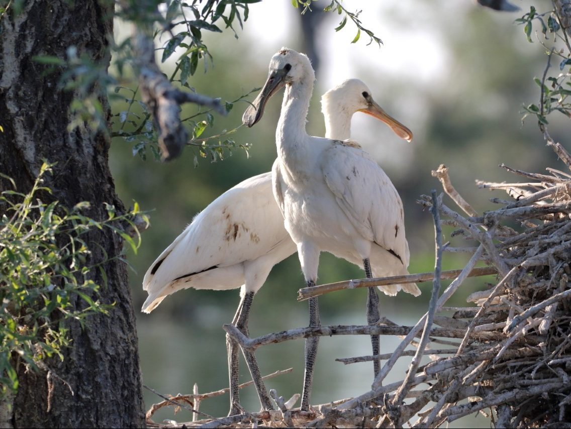 Spoonbill-Lake-Kerkini