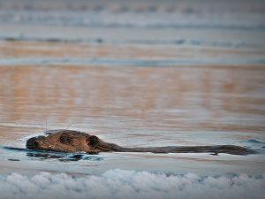 Eurasian-Beaver-Poland
