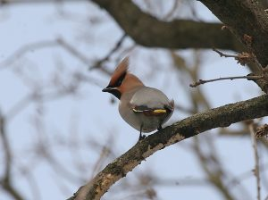 Waxwing-Poland