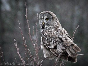 Great-Grey-Owl-Poland