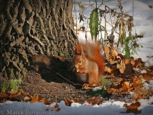 Red Squirrel-Poland