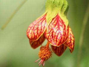 Abutilon-pictum-Ecuador