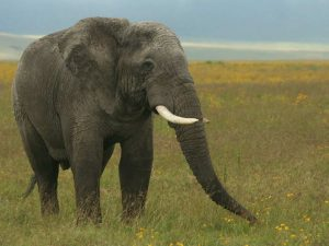 African-Elephant-Tanzania