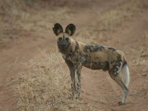 African-Wild-Dog-Botswana