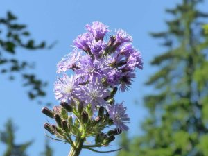 Cicerbita-alpina-Bulgaria