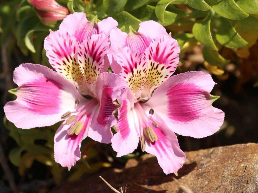 Alstroemeria-pelegrina-Chile