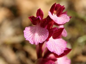 Anacamptis-papilionacea-Sardinia