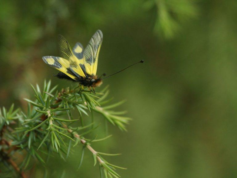 Ascalaphus-libelluloides-Slovakia