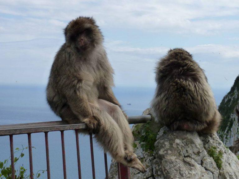 Barbary-macaque-Gibraltar
