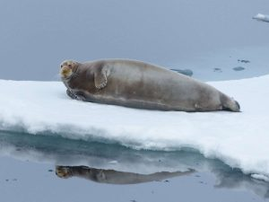 Bearded-Seal-Svalbard