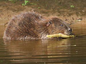 Beaver-Devon