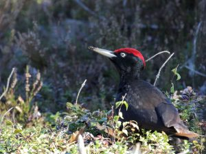 Black-Woodpecker-Estonia