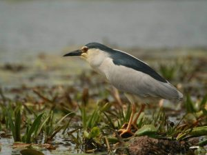 Black-crowned-Night-Heron-Danube-Delta