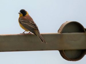 Black-headed-Bunting-Bulgaria