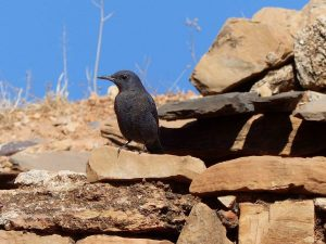 Blue-Rock-Thrush-Morocco
