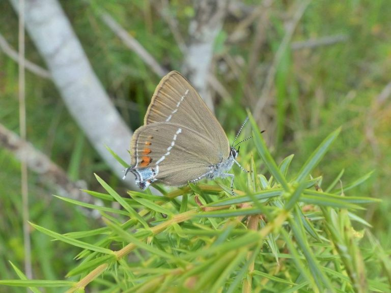 Blue-spot-Hairstreak-Dordogne