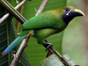 Blue-throated-Toucanet-Costa-Rica
