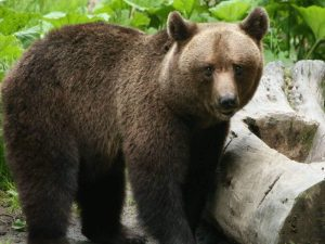 Brown-Bear-Transylvania