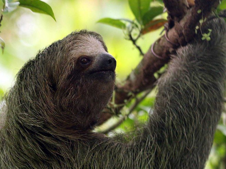 Brown-throated-Three-toed-Sloth-Costa-Rica