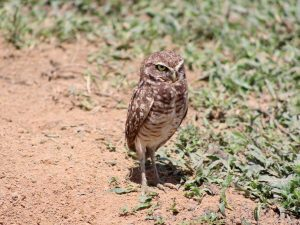 Burrowing-Owl-Colombia
