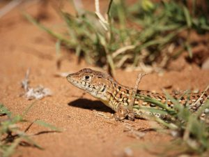 Busack's-Fringe-toed-Lizard-Morocco