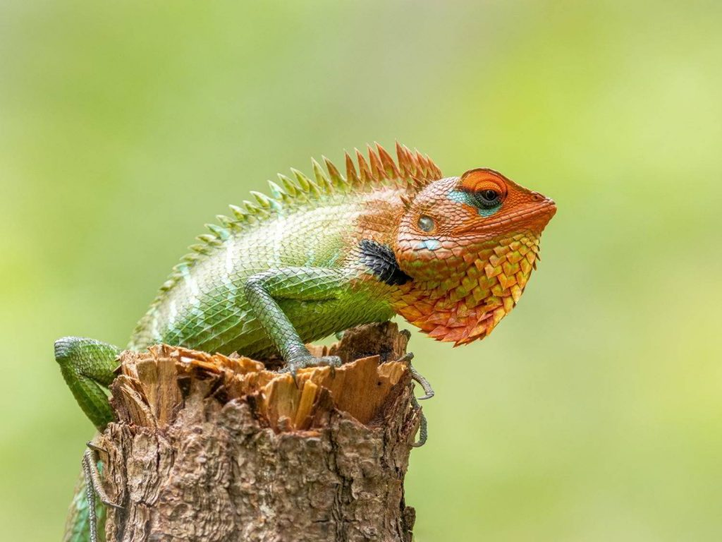 Green-Garden-Lizard-Sri-Lanka