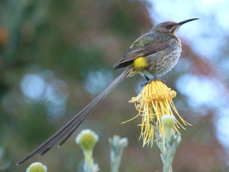 Cape-Sugarbird-South-Africa